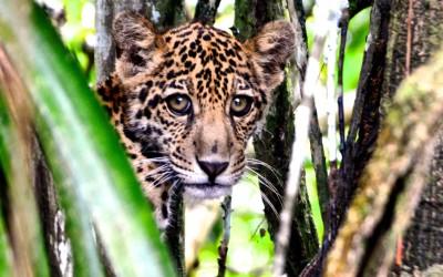 Sensores serão instalados sob a copa das árvores para monitorar espécies da Amazônia